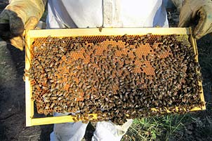 Travail d'apiculteur des ruchers de Bonnechère dans le Midi de la France