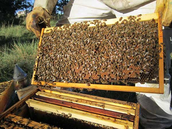 Cadre sorti de la ruche pour l'examiner