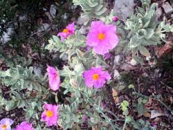 Ciste en fleurs dans la garrigue provençale