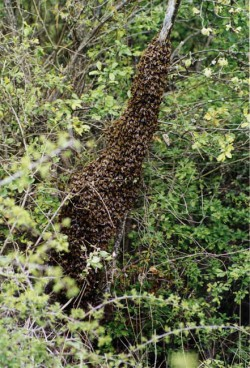 Essaim d'abeilles en pleine nature