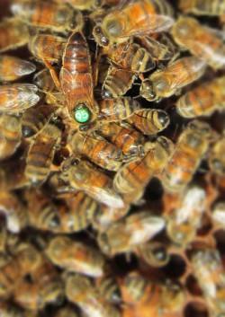 Identification de la reine au milieu des abeilles de la ruche
