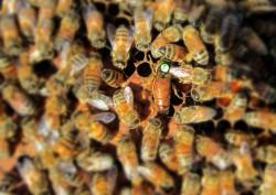 Reine au milieu des abeilles