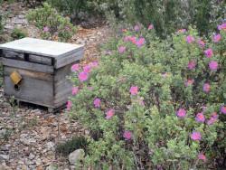 Ruche dans les fleurs de la garrigue provençale