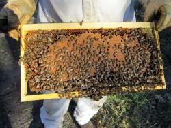 Samuel inspecte les cadres de ses ruches en transhumance