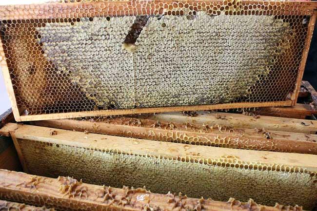 Cadre sorti de la ruche pour extraction du miel