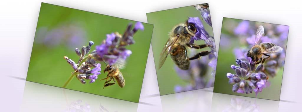 Les abeilles butineuses des Ruchers de Bonnechère en Provence